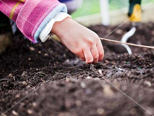 A child's hand planting seeds in the ground