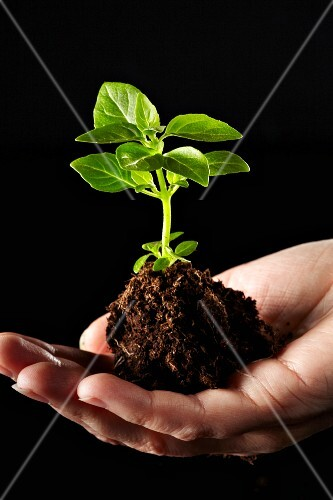 A hand holding a basil plants in a pile of soil