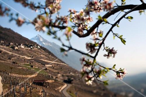 A vineyard in Martigny, Lower Valais (Switzerland)