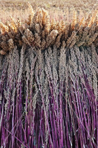 Quinoa ears drying in a field in the Andes (Peru)