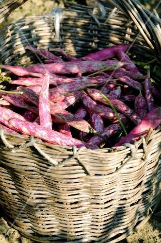 A basket of freshly harvested borlotti beans