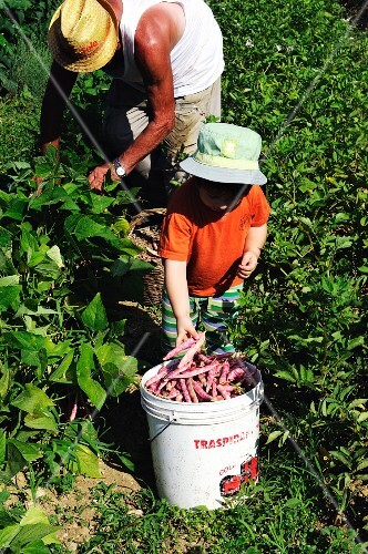 An older man and a little boy harvesting borlotti beans in a field