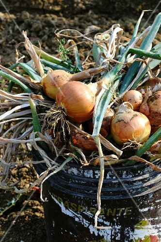 Freshly harvested onions in a bucket