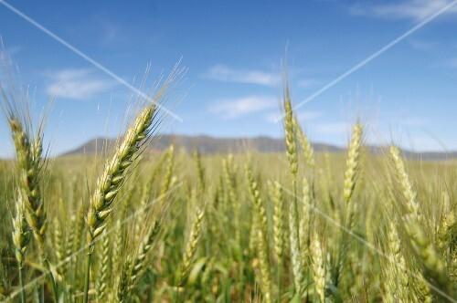 A wheat field against a blue sky