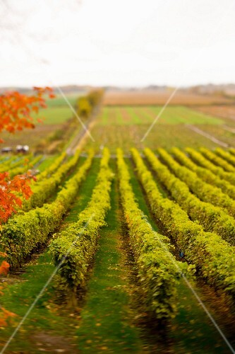 Rows of grapes in vineyard