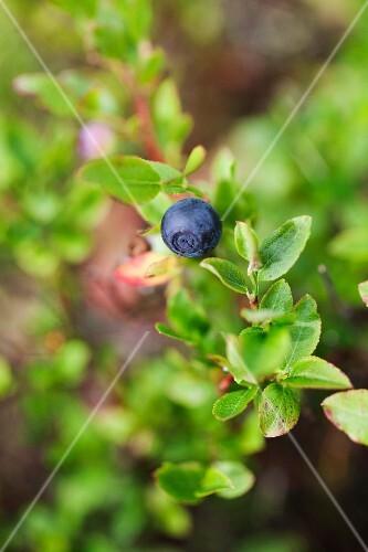 A blueberry on a bush
