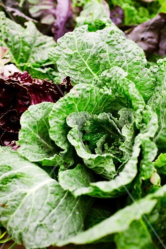Organic cabbage in a garden
