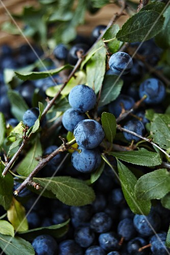 Sloes on branch