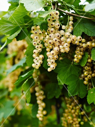 White currants on the bush
