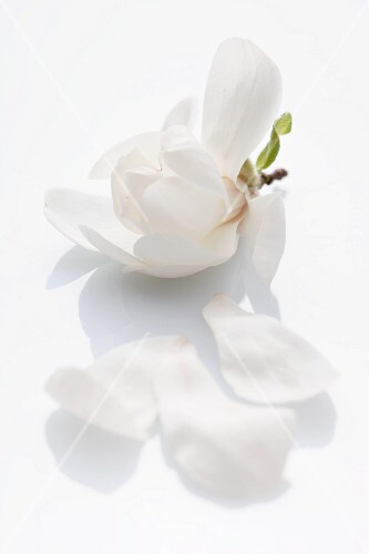 A magnolia flower on a white surface