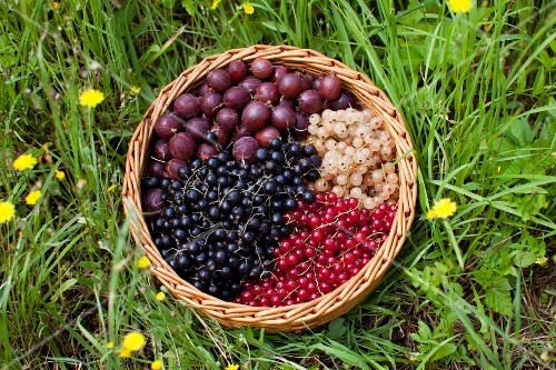 Reducrrants and gooseberries in a basket in a field