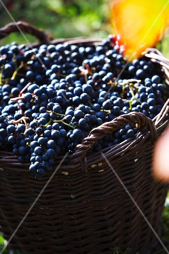 Red grapes in a basket