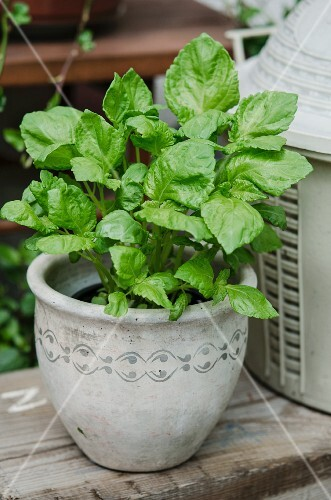 A young shiso plant in a pot
