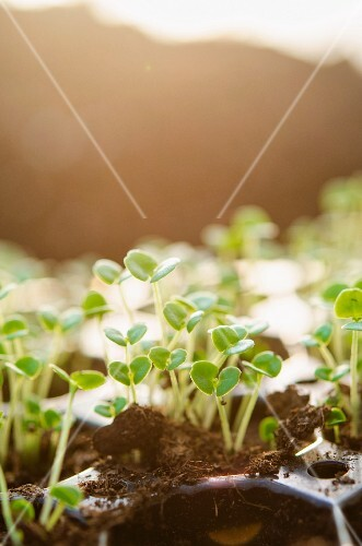 Plant shoots in seed tray
