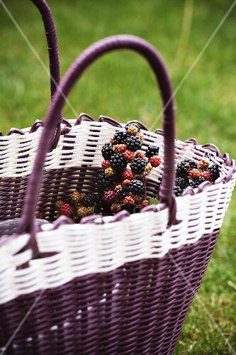 Wild blackberries in a basket in a field