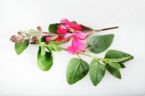 Redcurrant sage (Salvia ovrahamis)