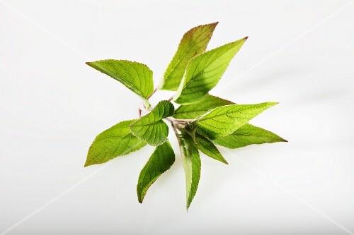 Pineapple sage (Salvia rutilans, Salvia elegans)