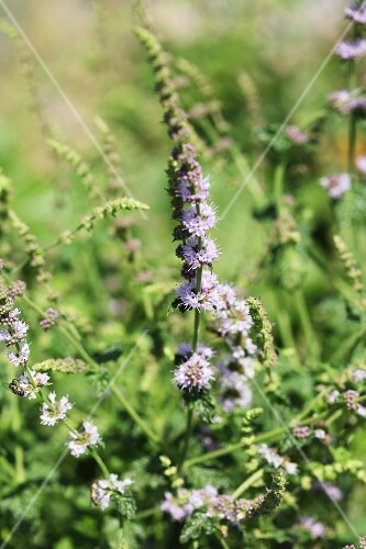 Strawberry mint (Mentha species)