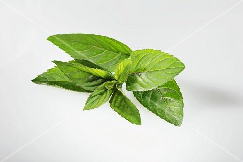 Chocolate mint (Mentha × piperita var. piperita)