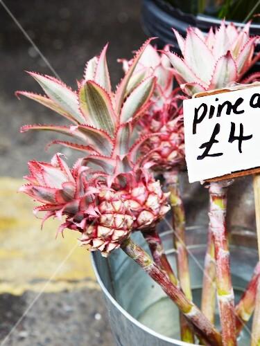 Pineapple flowers in a zinc bucket
