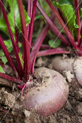 Beetroot in a field