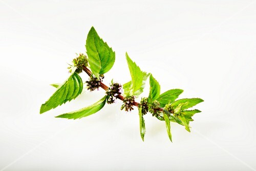 Fresh ginger mint with flowers