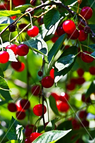Sour cherries on branch