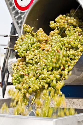 weiße Pignoletto-Trauben werden in eine Abbeermaschine geschüttet