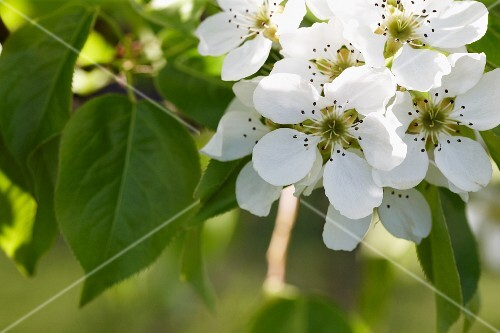 Pear flowers on a tree (close-up)