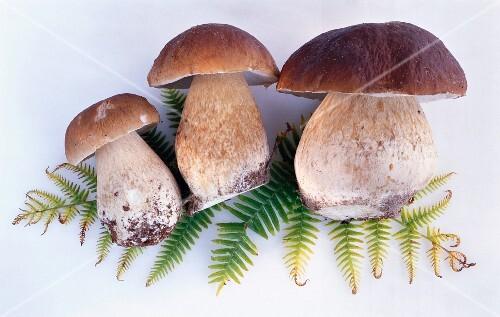 Three fresh porcini mushrooms on a fern leaf