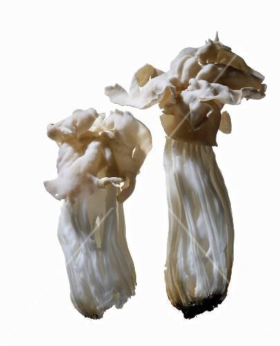White saddle mushrooms
