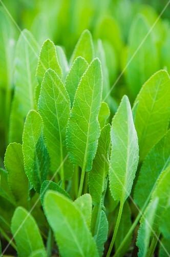 Balsam herb (mint geranium)