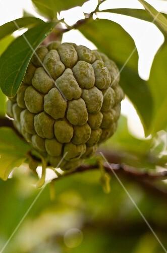 A sugar apple on a tree