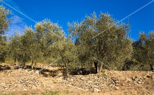 Grove of olive trees in Liguria
