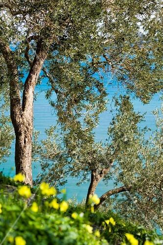 Mature olive trees close to the sea