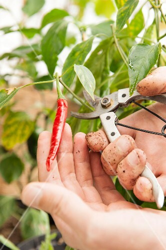 Gardener cutting a chilli pepper from the plant