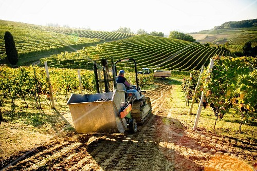 The grape harvest in the Langhe (Piedmont, Italy)