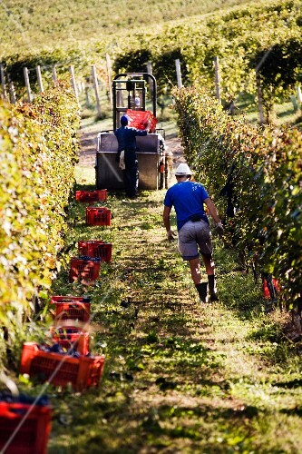 Men on a path between the rows of vines during the wine harvest