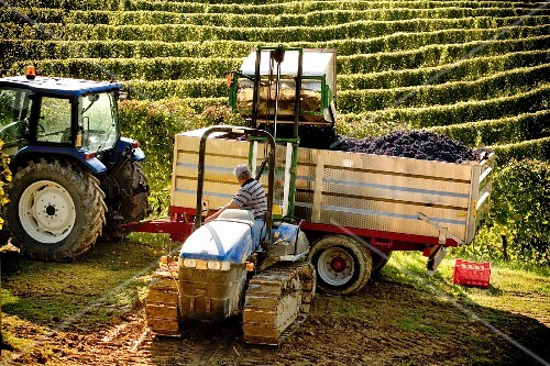 Grapes being loaded into a tractor trailer for transporting
