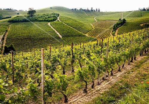 Rows of vines against the wine-growing landscape