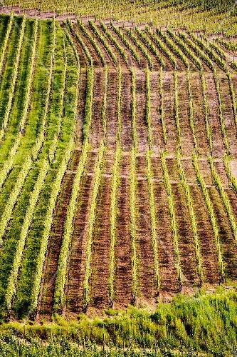 A vineyard in Piedmont