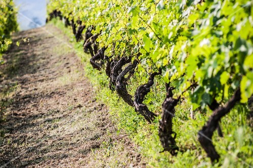 Rows of vines in the sunshine