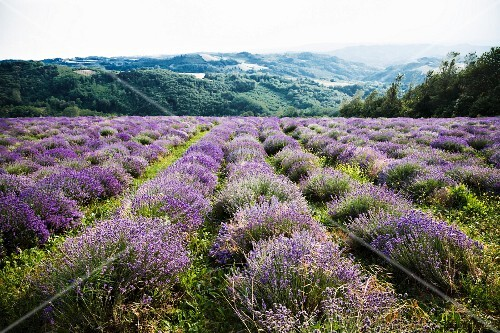 A large field of lavender