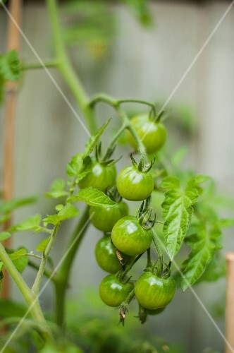 Unripe cherry tomatoes on the plant