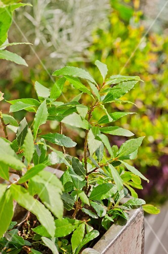 Bay leaves on the plant