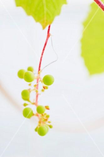 Green grapes in harsh, white light