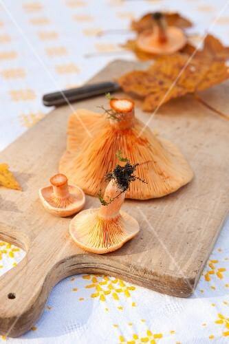 Milk cap mushroom on a cutting board with autumn oak leaves