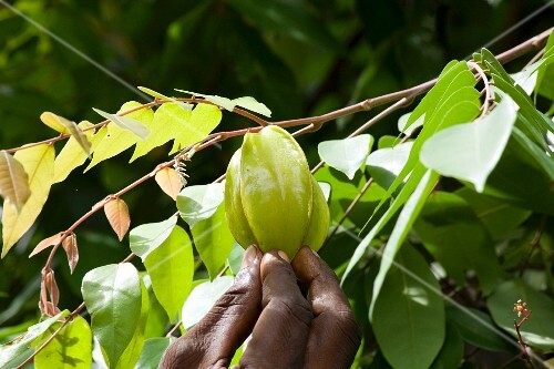 A hand reaching for starfruit on the tree