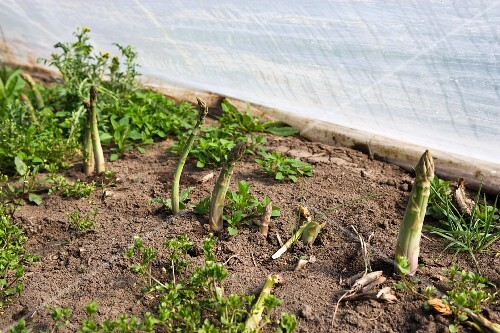 Asparagus growing in a greenhouse