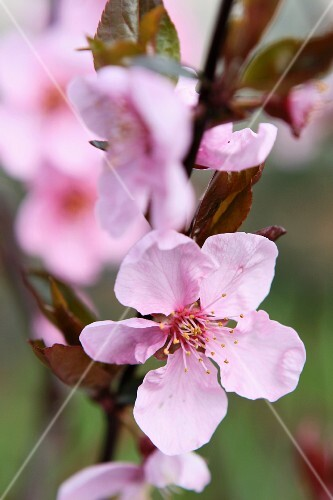 Japanese cherry flowers on the tree in the garden